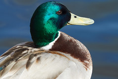 """I'm Ready for my Close Up"" (tim ellis) Tags: bird duck mallard suttonpark wyndleygate wyndleypool closeup msh0417 msh04173 suttoncoldfield uk"