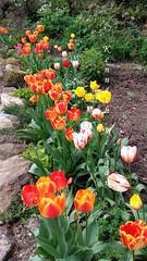 Tulips (Ken Meegan) Tags: tulips rosescottage colcloughwalledgarden tinternabbey saltmills cowexford ireland 942017 flowers