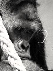 Gorilla (yve_all) Tags: wildlife zoo gorilla blackandwhite schwarzweis blickwinkel view natur nature licht light animals tiere