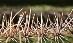 Sharp Forest (sea turtle) Tags: arizona phoenix nature garden cactus spine spines sharp desertbotanicalgarden botanicalgarden papagopark