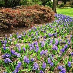 Sherwood Gardens ~ heavenly Hyacinth (karma (Karen)) Tags: baltimore maryland guilford flowers sherwoodgardens hyacinth bushes azaleas squared iphone