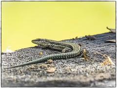 LAGARTIJA (BLAMANTI) Tags: lagartija lagartos lagarto reptiles reptil verde alpandeire ronda naturaleza camuflaje