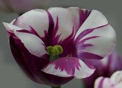 RHS Hyde Hall - 23-04-2017 (53) (Padski1945) Tags: tulipsortulipavarious tulips tulipsmauvewhite rhsgardens rhshydehall rettendon essex essexscenes essexgardens englishgardens isabel