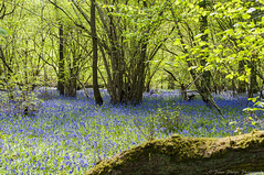 BlueBell Wood (Peter Phelps Photography) Tags: bluebell blue forest trees log leaf green lanscape
