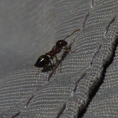Crematogaster ant (Dendroica cerulea) Tags: crematogaster crematogastrini myrmicinae formicidae formicoidea aculeata hymenoptera insecta hexapoda arthropoda insect ant invertebrate spring highlandparkmeadows highlandpark middlesexcounty nj newjersey