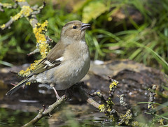 Female Chaffinch (5 of 5) (ianrobertcole1971) Tags: bird garden chaffinch songbird finch pool drink