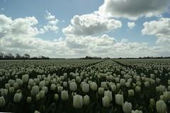 Tulips (Schagie) Tags: bollenveld holland wolken wit lente noordholland tulips white tulpen tulpenveld sky lucht
