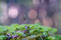 blurred wood sorrel (_andrea-) Tags: macromonday wood sorrel intentional blur blurred bokeh lowpov
