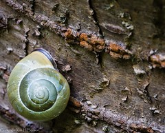 Snail on a slant (kimbenson45) Tags: bark brown closeup details differentialfocus green macro mollusc nature outdoors shallowdepthoffield snail tree wildlife wood