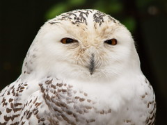 Snowy Owl 2 (dennisgg2002) Tags: bronx zoo new york city nyc ny