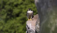 Mating Peregrines in Bristol's Avon Gorge April 2017 (oldparson) Tags: avon birdofprey bristol falcon gorge peregrine spring mating breeding