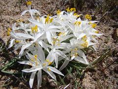 Leucocrinum montanum DSC00791 (sierrarainshadow) Tags: leucocrinummontanumhotspringmountain carsoncity nv