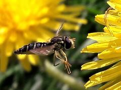 Hoverfly approaching dandelion (markwilkins64) Tags: hoverfly insect insects dandelion dandelions nature macro closeup