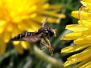 Hoverfly approaching dandelion