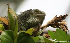 Green Iguana (PAPERCUTSKIN) Tags: leaf animal vlindersaandevliet vlinders aan de vliet green iguana