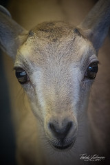 Nubian Ibex (ToddLahman) Tags: nubianibex baby sandiegozoosafaripark safaripark canon7dmkii canon canon100400 closeup eyelock escondido mammal