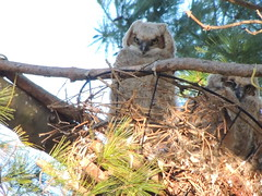 Great Horned Owlets (Two Cats Productions) Tags: