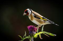 Goldfinch on thistles (Explored) (Dec Roche) Tags: goldfinch finch gardenbirds songbirds wexford repofireland garden nature wildlife nikon nikond7000 tc14eii teleconverter