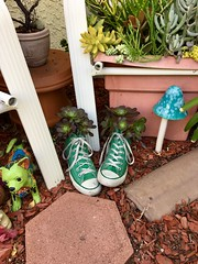 Planting in old shoes is always a good idea. Found this pair of cool green Converse High Top sneakers at a thrift shop.