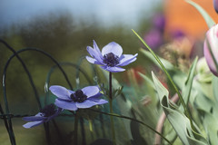 Spring Still Life (nicoletta_raschella) Tags: helios helios44 nikon nikond3200 nicolettaraschella spring outdoor garden flowers anemone plant colors