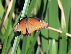 Battered Queen Butterfly (Danaus glippus); Tucson, Arizona, Tohono Chul Park [Lou Feltz] (deserttoad) Tags: nature arizona insect butterfly monarch queen flower wildflower bloom behavior