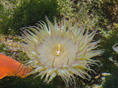 anemone 02 (thedawnsbrain) Tags: sea anemone seaanemone