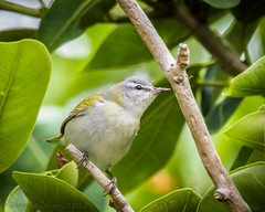 Fort De Soto Park Tennesse Warbler 04-24-2017 (5 of 7) (Jerry's Wild Life) Tags: florida fortdesoto fortdesotopark ftdesoto ftdesotopark pinellascounty pinellascountypark songbird tennesse tennessewarbler tennessee warbler inexplore explore inexplored explored