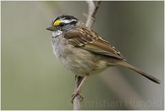 white-throated sparrow (Christian Hunold) Tags: whitethroatedsparrow songbird bird bokeh weiskehlammer johnheinznwr philadelphia christianhunold