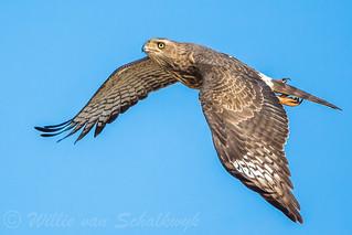 Pale Chanting Goshawk in flight (2)