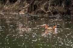 Mandarinenten Pärchen / Mandarin duck (S. Markow) Tags: mandarin duck mandarinente bird vogel nikond5300 nikon nature natur sigma 150600mm outdoor wildlife see wasser water lake brühl