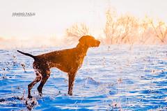 Gjuetia në Kosovë (armendfazliu-photography) Tags: armendfazliuphotography armendfazliu kosova gjuetia hunting dogs deutchedrahthar ducks frozen ice cold snow huntingphotography