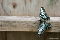 JM foto75-155 (janetankersmit) Tags: 2017 vlinders vlindertuin zutphen