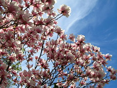 IMG_2116 (quirkyjazz) Tags: trees clouds spring lookingup magnolias blueskky