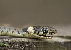 Grass-snake_2305 (Peter Warne-Epping Forest) Tags: uk snake essex grasssnake natrixnatrix