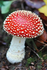 140/365_fairy house (red stilletto) Tags: red macro mushroom funghi toadstool 365 olinda dandenongs aphotoaday rhododendrongardens project365 365days redtoadstool nationalrhododendrongardens nationalrhododendrongardensolinda rhododendrongardensolinda