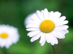 LonghornDaisy (XandeCosta) Tags: wallpaper 1024x768