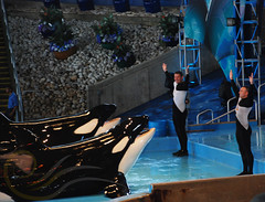 Tuar and Kyuquot2 (GypsySkye7) Tags: sanantonio believe orca seaworld shamu killerwhale kyuquot captivity tuar