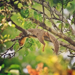 Siesta II (liquidnight) Tags: camera tree cute animals oregon portland relax backyard nikon nap bokeh wildlife branches lounge urbanwildlife perch siesta rest pdx balance laurelhurst comfy ornamentalpear foxsquirrel d90 easternfoxsquirrel sciurusniger instagram uploaded:by=flickrmobile flickriosapp:filter=nofilter