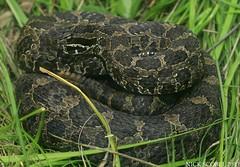 Eastern Massasauga Rattlesnake (Nick Scobel) Tags: michigan species endangered eastern rattlesnake rattler sistrurus massasauga threatened catenatus