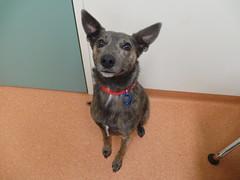 Marley (Rayya The Vet) Tags: dog vet canine vaccination twitter kelpiecross whippetcross vetexam