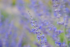 Purple~ (thomask8) Tags: flowers summer plants flower macro green nature floral canon garden outdoors photography soft purple bokeh bloom blooming naturescenes simplyflowers mygardenschool