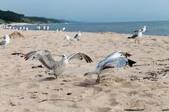 IMG_9014 (kati.turner) Tags: lake bird beach michigan seagull pere marquette muskegon