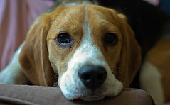 Beagle Eyes (DCZwick) Tags: dog beagle nile da7024ltd