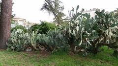 Four Opuntia (John Tann) Tags: cactus italy rome roma italia september opuntia cactaceae botanicgardens cultivated lasapienza 2013 geo:country=italy taxonomy:family=cactaceae taxonomy:genus=opuntia ortobotanicodiroma ortobotanicodelluniversitàdiroma