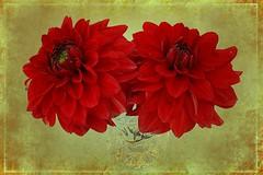 Red Dahlia Duo Stony Grunge Textured 001 (Chrisser) Tags: flowers autumn ontario canada nature garden gardening fourseasons closeups asteraceae dahlias itsanaddiction canonefs1855mmf3556islens canoneosrebelt1i pareeericastextureextravaganza backgroundfromparee ipiccy