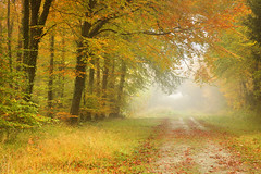 The Golden Trail (Alan MacKenzie) Tags: autumn trees mist fall leaves fog forest woodland october southdowns fristonforest