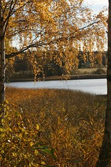 Hst i gult - Autumn in yellow (FruSparr) Tags: autumn lake water yellow reeds birch
