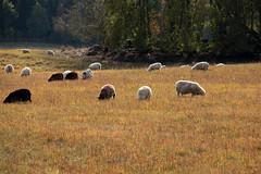 234 av 365 (Yvonne L Sweden) Tags: field sheep sweden eating farming husdjur hage fr fallasleep ter betar jordbruk somna 365foton 3652013