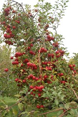 """Tree Loaded w/ Rome Apples <a style=""""margin-left:10px; font-size:0.8em;"""" href=""""http://www.flickr.com/photos/91915217@N00/10302970665/"""" target=""""_blank"""">@flickr</a>"""