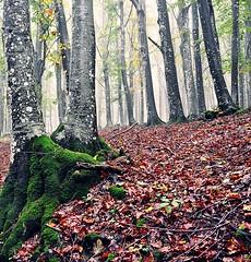 OttObre (Claudia Gaiotto) Tags: autumn nature leaves fog foglie square roots nebbia autunno radici casentino otono brumes